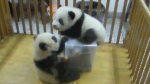 News video: Wrestling Baby Pandas